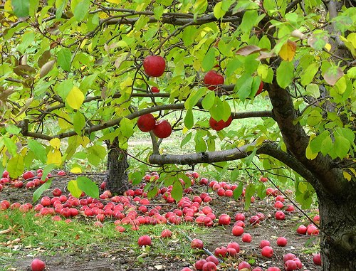 V4P Journey Apples In The Orchard